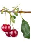 Ветвь вишни с листьями стоковые изображения