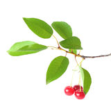 Ветвь вишни с ягодами на белизне Стоковая Фотография RF