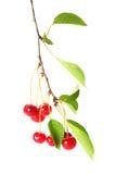 Ветвь вишни с ягодами на белизне Стоковые Изображения RF