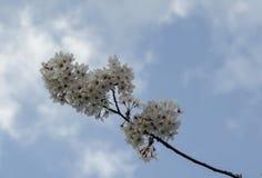 Ветвь вишни цветения японская, красивая весна цветет для предпосылки, Софии стоковая фотография
