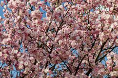 Ветвь вишни цветения японская, красивая весна цветет для предпосылки, Софии стоковое изображение