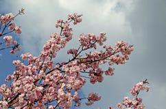 Ветвь вишни цветения японская, красивая весна цветет для предпосылки, Софии стоковые фото
