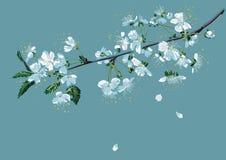 Ветвь вишни цветения Стоковая Фотография RF