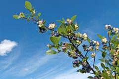 Ветвь вкусных черники или голубики трясины Стоковое Изображение RF