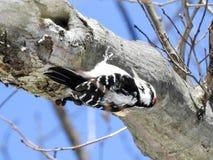 Ветвь волосатого Woodpecker взбираясь вверх ногами Стоковая Фотография RF