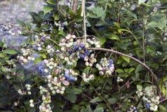Ветвь вполне американских ягод Стоковое фото RF