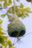 Ветвь гнезда птицы ткача Baya на дереве Стоковые Фото