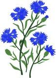 Ветвь голубых cornflowers Изолированная иллюстрация вектора Стоковая Фотография RF