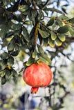 Ветвь гранатового дерева Стоковая Фотография