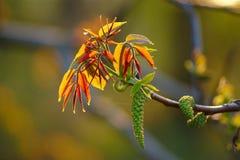 Ветвь грецкого ореха с мужским цветком стоковое изображение rf