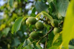 Ветвь грецкого ореха с плодоовощ детенышей Стоковое Фото