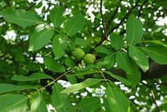 Ветвь грецкого ореха Стоковые Изображения