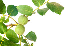 Ветвь грецкого ореха Стоковое Фото