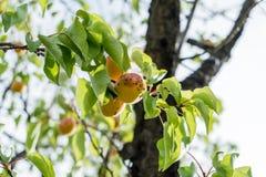 Ветвь дерева абрикоса с зрелыми плодоовощами против твердого голубого неба в лете стоковое фото