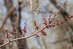 Ветвь дерева абрикоса с розовыми бутонами Стоковые Фотографии RF