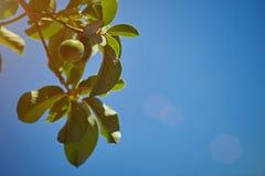 Ветвь дерева авокадоа Стоковое Фото