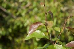 Ветвь дерева березы листья зеленого цвета Лето Forrest Стоковые Фото
