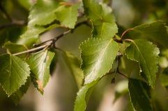 Ветвь дерева березы листья зеленого цвета Лето Forrest Стоковое Изображение