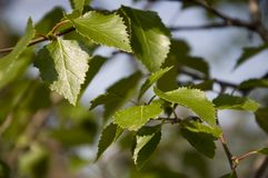Ветвь дерева березы листья зеленого цвета Лето Forrest Стоковая Фотография
