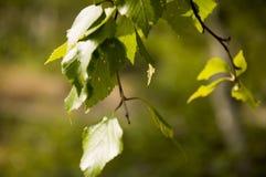 Ветвь дерева березы листья зеленого цвета Лето Forrest Стоковое Изображение RF
