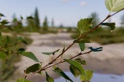 Ветвь дерева березы листья зеленого цвета Лето Forrest Стоковые Фотографии RF