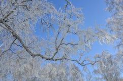 Ветвь дерева березы с изморозью на голубом небе зимы Стоковое Фото