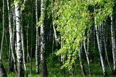 Ветвь дерева березы с молодой листвой Стоковые Изображения RF