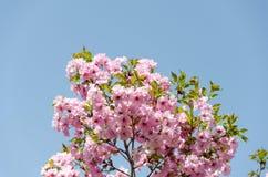 Ветвь дерева вишневого цвета на голубом небе Стоковая Фотография RF
