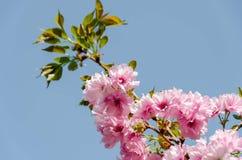 Ветвь дерева вишневого цвета на голубом небе Стоковые Фотографии RF