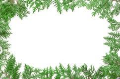 Ветвь дерева ели на белой предпосылке Взгляд сверху Стоковое Изображение