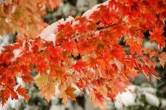 Ветвь дерева клена сахара с свежим снегом стоковая фотография rf