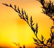 Ветвь дерева на заходе солнца Стоковые Фотографии RF