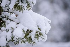 Ветвь дерева покрывала с сильным снегопадом в сезоне зимы на Лапландии, Финляндии стоковые фотографии rf