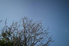 Ветвь дерева против голубого неба как предпосылка Стоковое Изображение RF