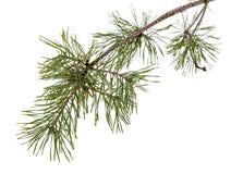 Ветвь дерева сосенки изолированная на белизне Стоковая Фотография RF