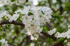 Ветвь дерева с белый цвести стоковое фото rf