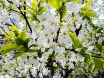 Ветвь дерева с белыми цветками Стоковые Фото