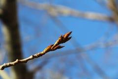 Ветвь дерева с бутонами на фоне других ветвей и голубого неба стоковое изображение