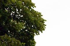 Ветвь дерева с зелеными листьями изолированными на белизне стоковые изображения rf