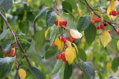 Ветвь дерева с зеленым цветом и листьями и ягодами желтого цвета Apple Стоковые Фотографии RF