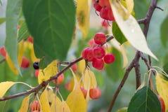 Ветвь дерева с зеленым цветом и листьями и ягодами желтого цвета Apple Стоковая Фотография