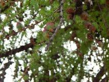 Ветвь дерева с конусами сосны Стоковая Фотография