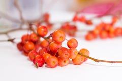 Ветвь дерева с красными ягодами вектор вала иллюстрации яблока красивейший Осень Стоковые Фото