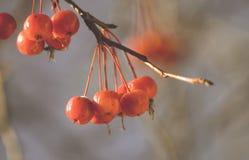 Ветвь дерева с красными ягодами вектор вала иллюстрации яблока красивейший Осень Стоковая Фотография RF