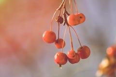 Ветвь дерева с красными ягодами вектор вала иллюстрации яблока красивейший Осень Стоковое Изображение