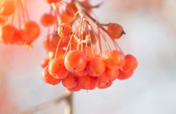 Ветвь дерева с красными ягодами вектор вала иллюстрации яблока красивейший Осень Стоковая Фотография