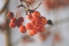 Ветвь дерева с красными ягодами вектор вала иллюстрации яблока красивейший Осень Стоковые Изображения