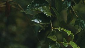 ветвь дерева с листьями во время тяжелого лить тропического дождя на джунглях тропического леса стоковая фотография