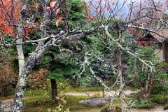 Ветвь дерева с мхом лишайника и предпосылка вне фокусируют сад осени Стоковые Изображения RF