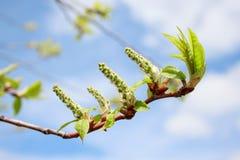Ветвь дерева тополя с молодыми бутонами и листьями зеленого цвета Естественный аллерген Стоковая Фотография RF